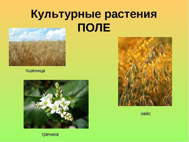 Культурные растения ПОЛЕ гречиха пшеница овёс