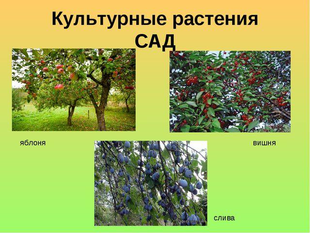 Культурные растения САД яблоня вишня слива