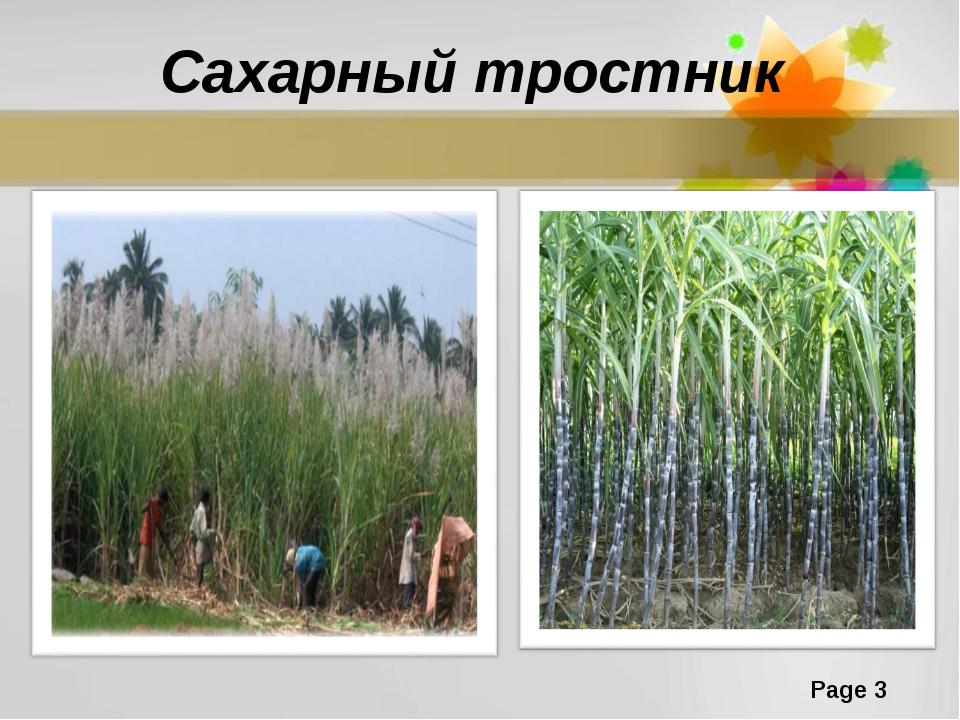 Сахарный тростник Page *