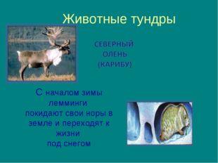 Животные тундры С началом зимы лемминги покидают свои норы в земле и переходя