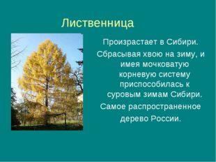 Лиственница Произрастает в Сибири. Сбрасывая хвою на зиму, и имея мочковатую