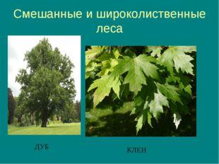 Смешанные и широколиственные леса ДУБ КЛЕН