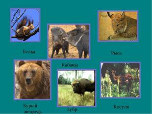 Белка Бурый медведь Рысь Кабаны Косуля Зубр