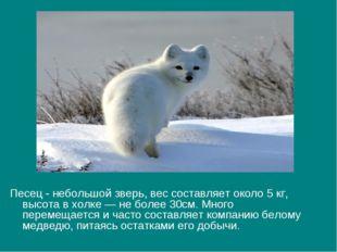 Песец - небольшой зверь, вес составляет около 5 кг, высота в холке — не более
