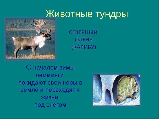 Животные тундры С началом зимы лемминги покидают свои норы в земле и переходя...