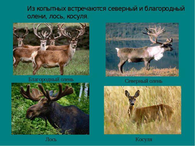 Из копытных встречаются северный и благородный олени, лось, косуля. Северный...
