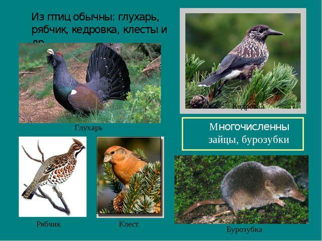 Из птиц обычны: глухарь, рябчик, кедровка, клесты и др. Многочисленны зайцы...