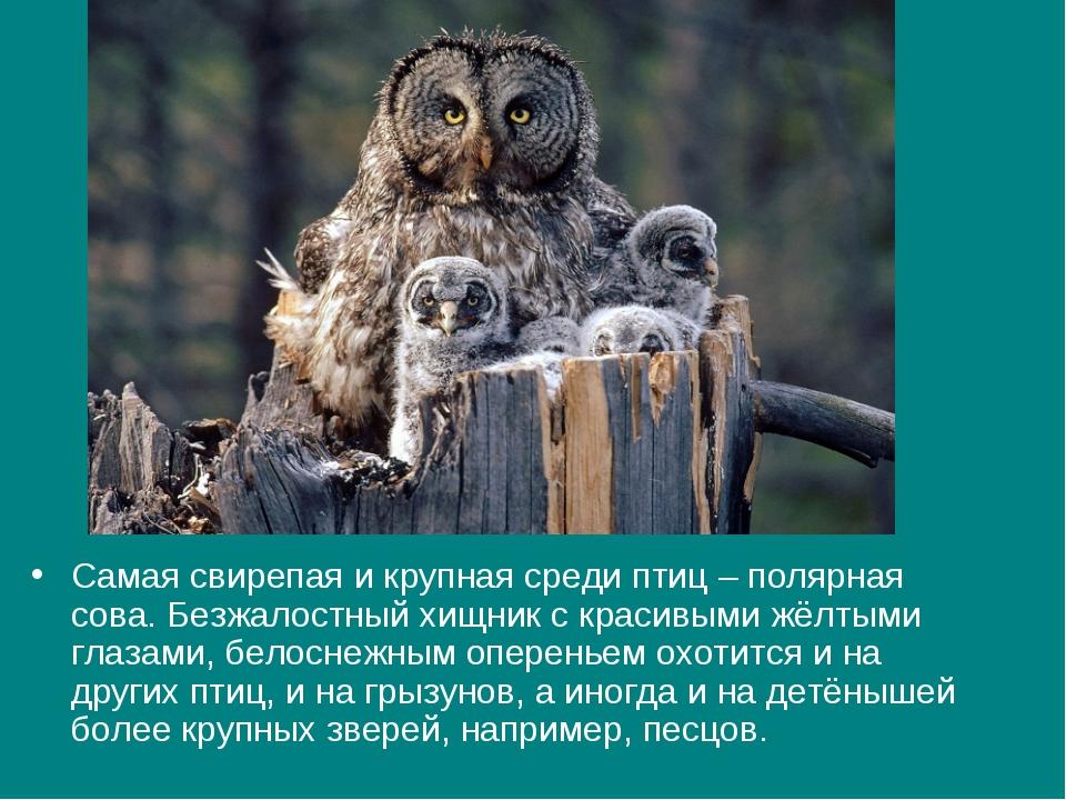 Самая свирепая и крупная среди птиц – полярная сова. Безжалостный хищник с кр...
