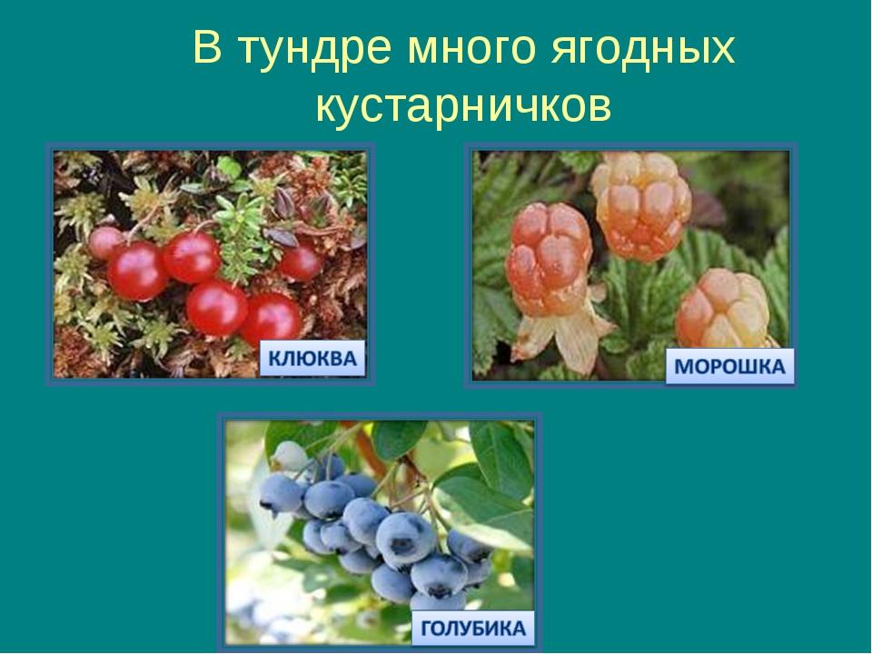 В тундре много ягодных кустарничков