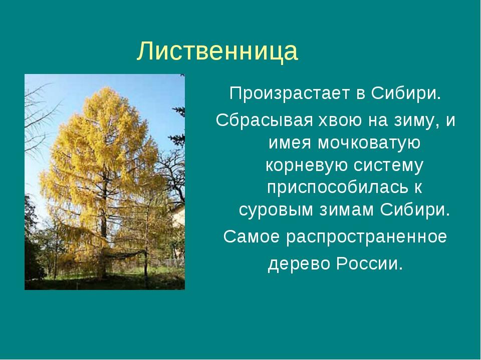 Лиственница Произрастает в Сибири. Сбрасывая хвою на зиму, и имея мочковатую...