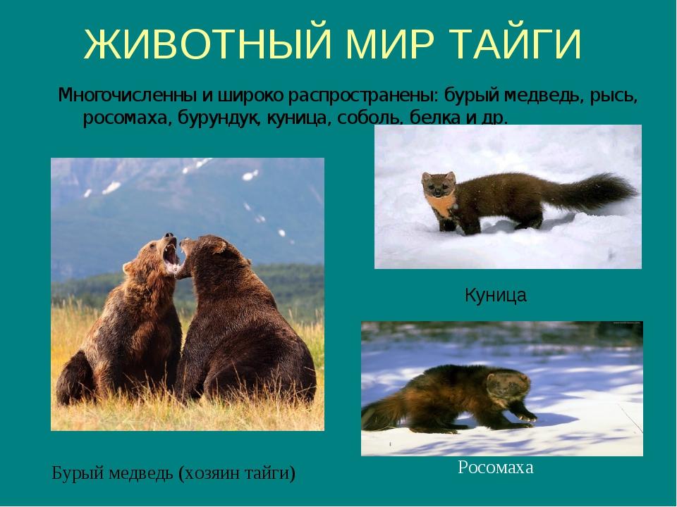 ЖИВОТНЫЙ МИР ТАЙГИ Куница Многочисленны и широко распространены: бурый медвед...