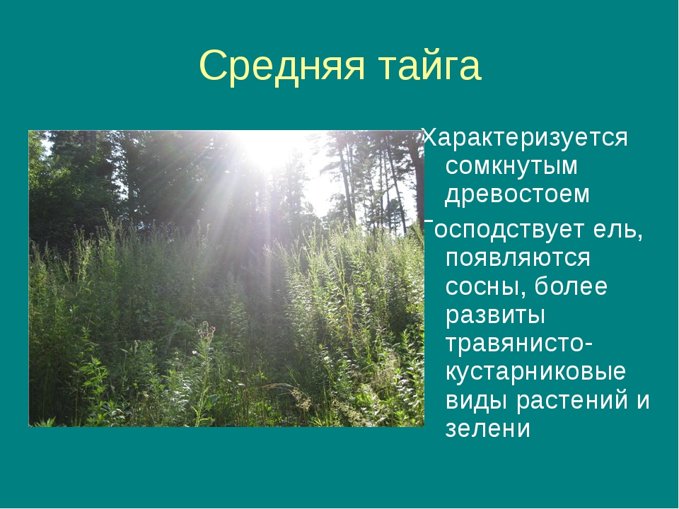 Средняя тайга Характеризуется сомкнутым древостоем Господствует ель, появляют...