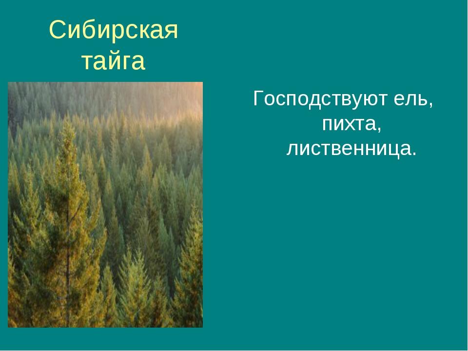 Сибирская тайга Господствуют ель, пихта, лиственница.