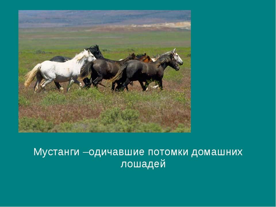 Мустанги –одичавшие потомки домашних лошадей