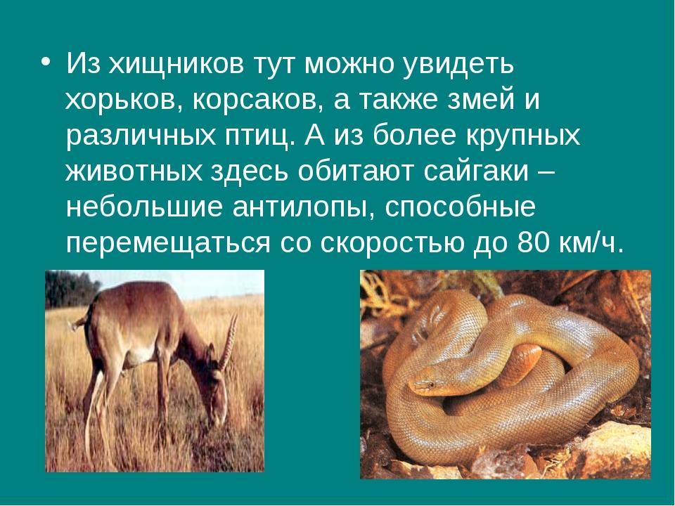 Из хищников тут можно увидеть хорьков, корсаков, а также змей и различных пти...