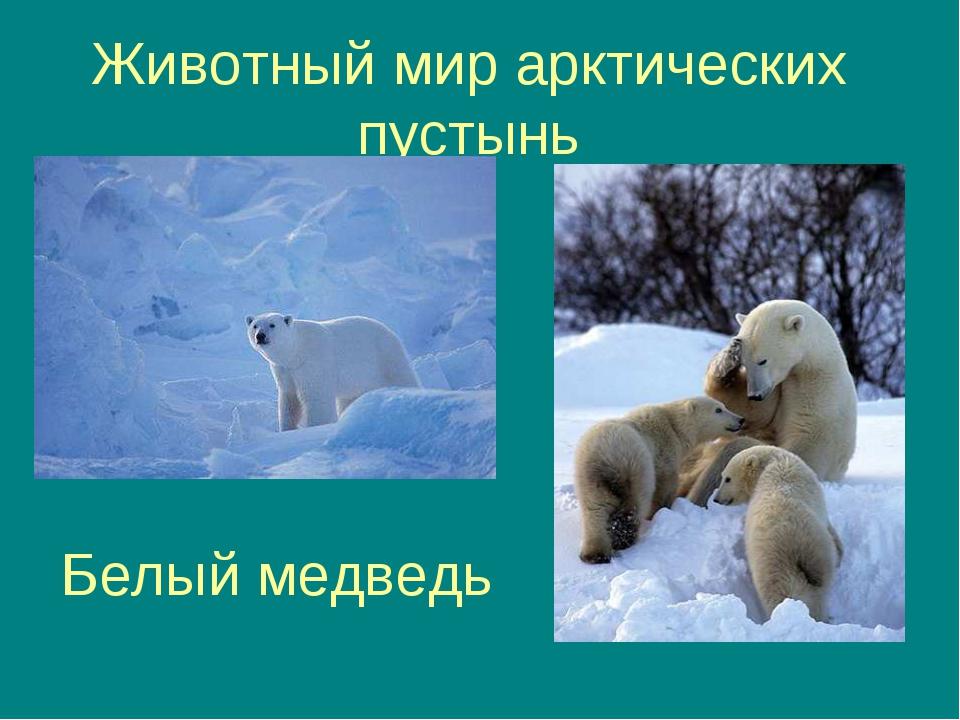 Животный мир арктических пустынь Белый медведь