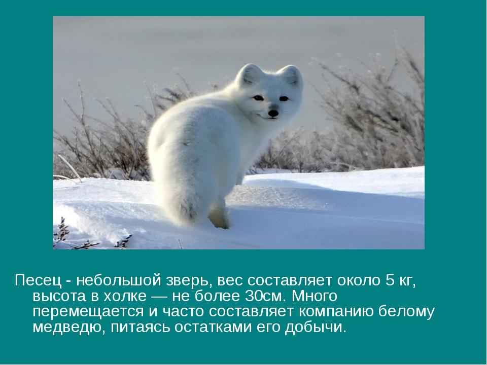 Песец - небольшой зверь, вес составляет около 5 кг, высота в холке — не более...