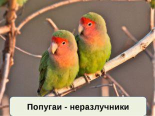 Попугаи - неразлучники