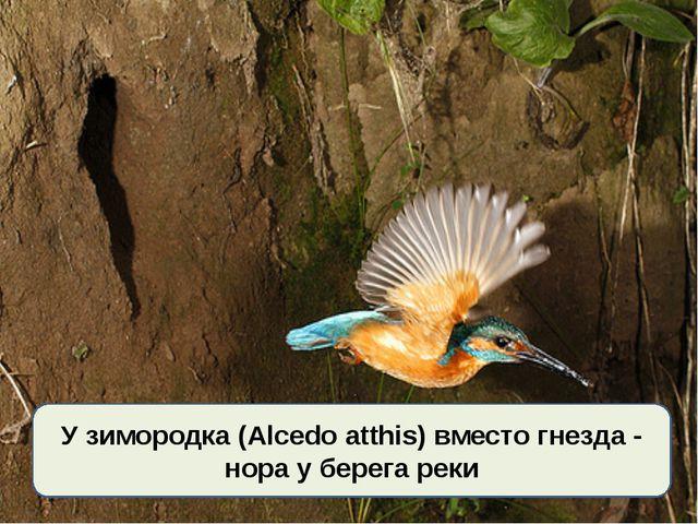 У зимородка (Alcedo atthis) вместо гнезда - нора у берега реки