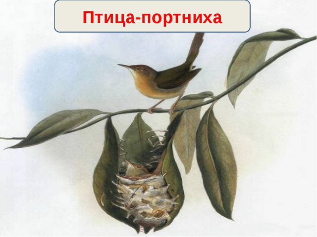 Птица-портниха