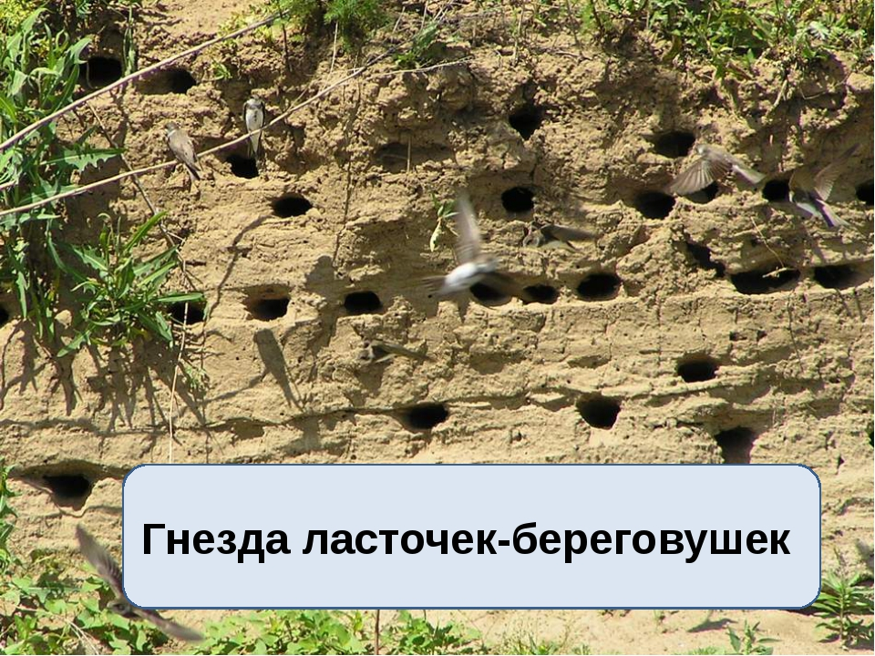Гнезда ласточек-береговушек