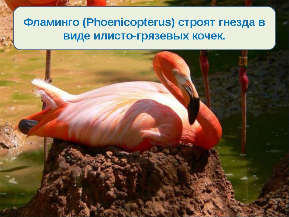 Фламинго (Phoenicopterus) строят гнезда в виде илисто-грязевых кочек.