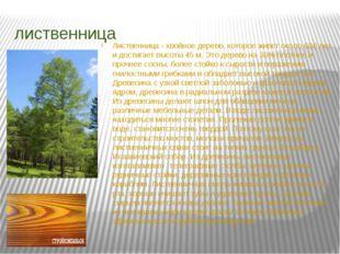 лиственница Лиственница - хвойное дерево, которое живет около 600 лет и дости