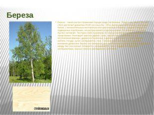 Береза Береза - самая распространенная порода среди лиственных. Живет она, ок