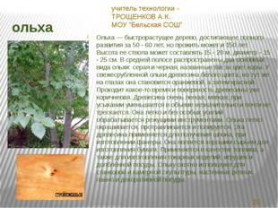 ольха Ольха — быстрорастущее дерево, достигающее полного развития за 50 - 60