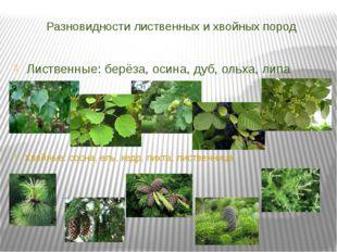 Разновидности лиственных и хвойных пород Лиственные: берёза, осина, дуб, ольх