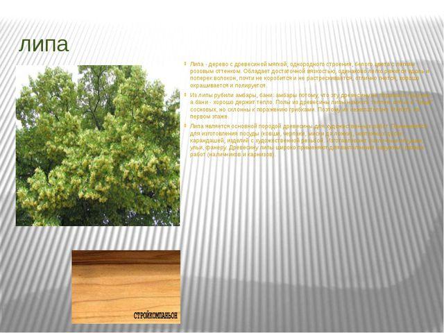 липа Липа - дерево с древесиной мягкой, однородного строения, белого цвета с...