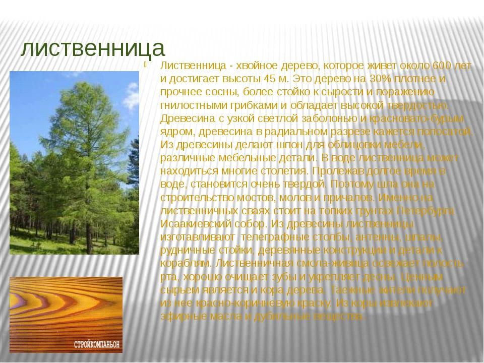 лиственница Лиственница - хвойное дерево, которое живет около 600 лет и дости...