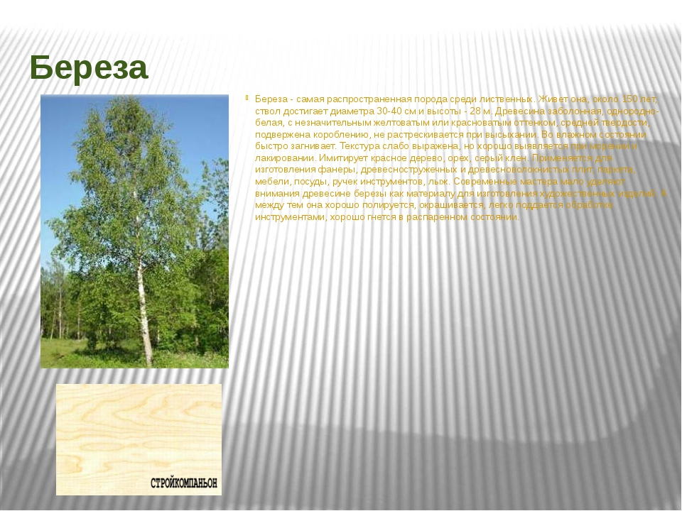 Береза Береза - самая распространенная порода среди лиственных. Живет она, ок...