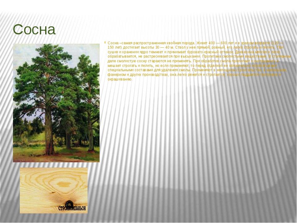 Сосна Сосна –самая распространенная хвойная порода. Живет 400 — 600 лет и в з...