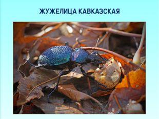 ЖУЖЕЛИЦА КАВКАЗСКАЯ