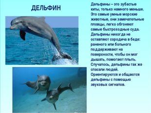 ДЕЛЬФИН Дельфины – это зубастые киты, только намного меньше. Это самые умные