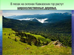 В лесах на склонах Кавказских гор растут широколиственные деревья.