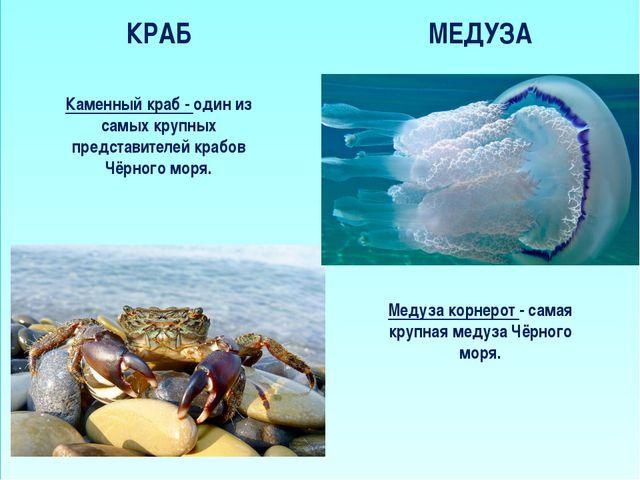 КРАБ МЕДУЗА Медуза корнерот - самая крупная медуза Чёрного моря. Каменный кр...
