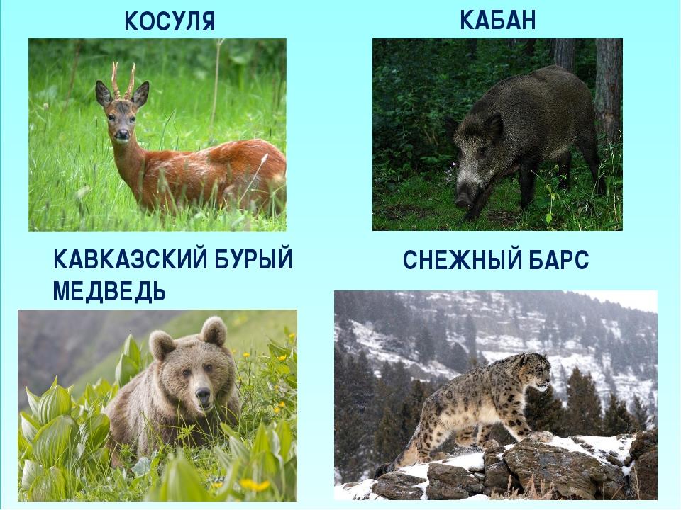 КОСУЛЯ КАБАН КАВКАЗСКИЙ БУРЫЙ МЕДВЕДЬ СНЕЖНЫЙ БАРС
