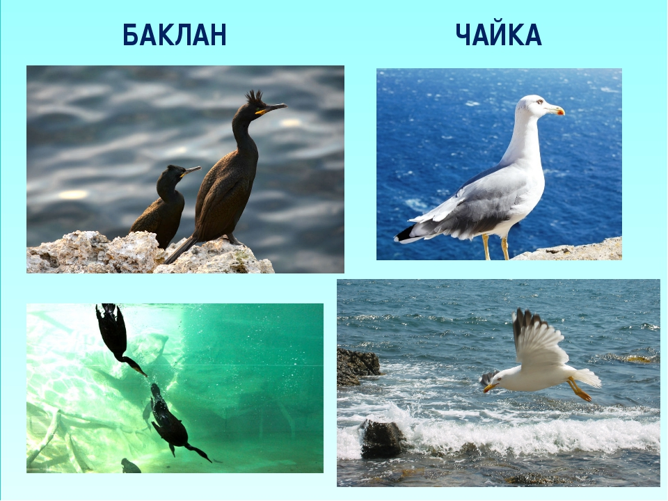 БАКЛАН ЧАЙКА