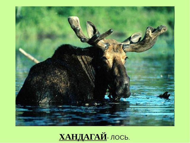 ХАНДАГАЙ- ЛОСЬ.