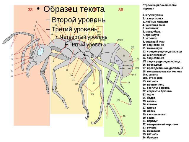 Строение рабочей особи муравья 1. жгутик усика 2. скапус усика 3. лобные лопа...