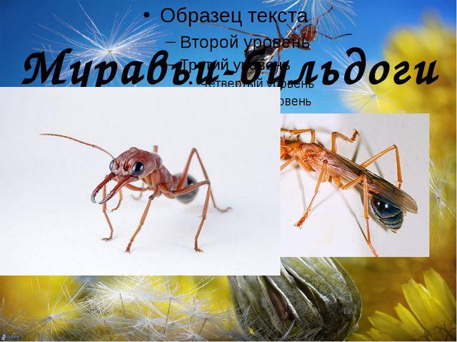 Муравьи-бульдоги