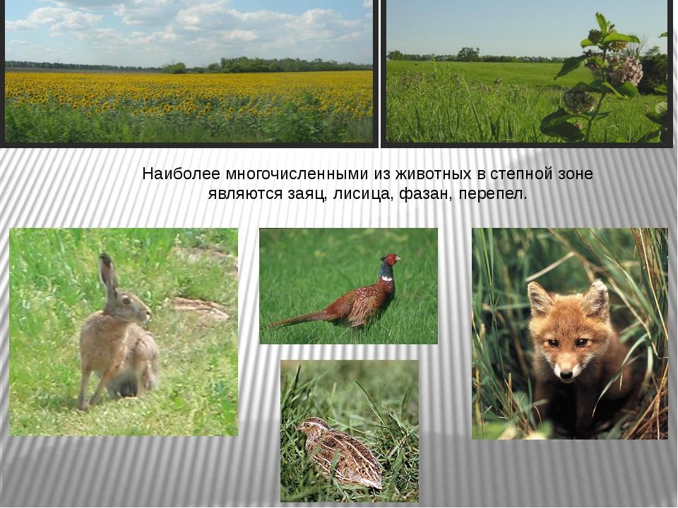 Наиболее многочисленными из животных в степной зоне являются заяц, лисица, фа...