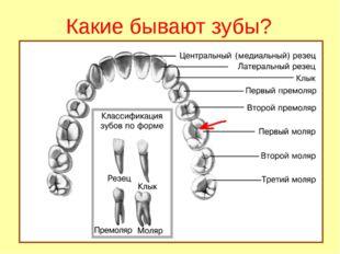 Какие бывают зубы?
