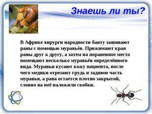 Знаешь ли ты? В Африке хирурги народности банту зашивают раны с помощью мурав