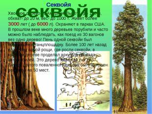 Секвойя Хвойное дерево из Америки. Высота- до 120 м, обхват- до 20 м, вес- до