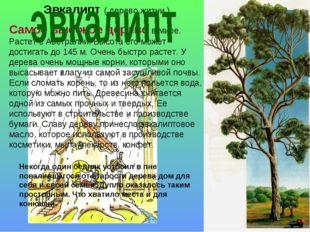 Эвкалипт ( дерево жизни ) Самое высокое дерево в мире. Растет в Австралии. Вы