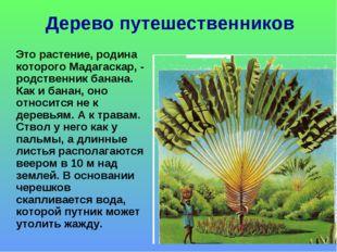 Дерево путешественников Это растение, родина которого Мадагаскар, - родственн