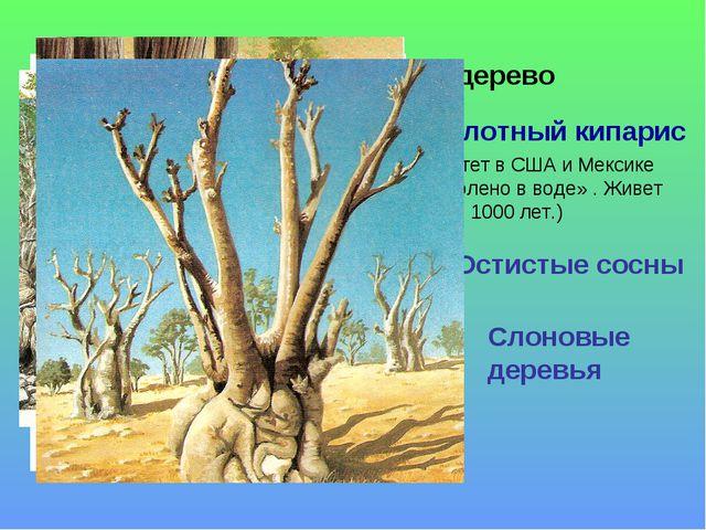 Хлебное дерево Болотный кипарис (, Растет в США и Мексике «по колено в воде»...